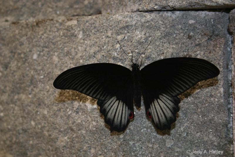Butterfly - ID: 10168871 © Jody A. Hatley
