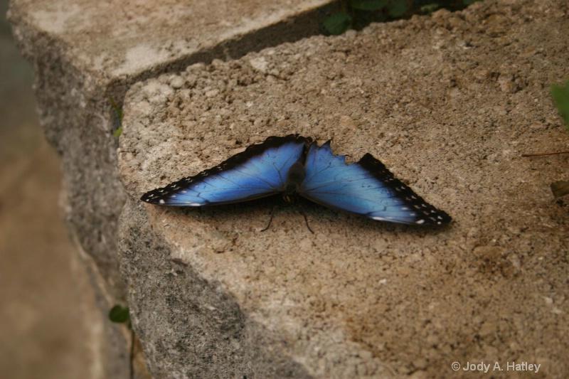 Common Blue Morpho - ID: 10168874 © Jody A. Hatley