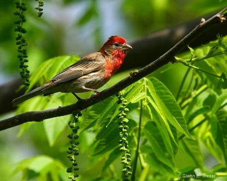 House Finch Paridise