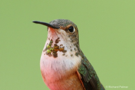 Hummingbird 3529