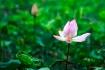 Primary Lotus