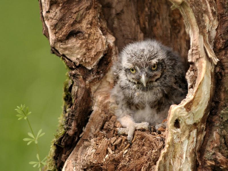 little owl baby