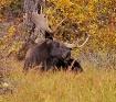 Proud Bull Moose