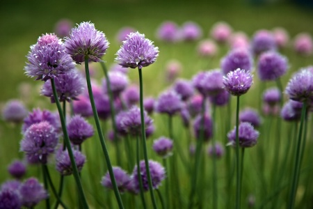 Ant Chives