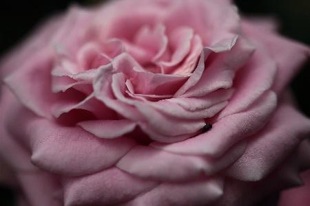 Pink Velvet Resubmit