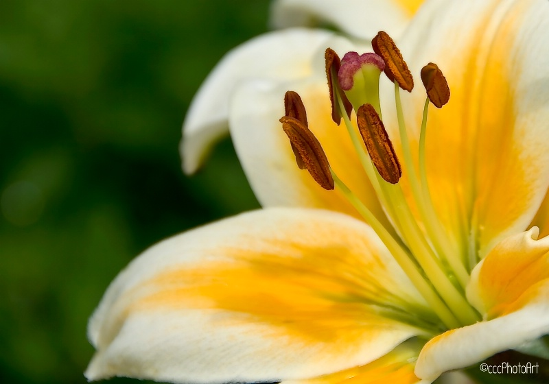 Honey Butter Lily
