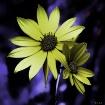 Nightly Flowers