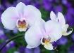 Summer Orchids