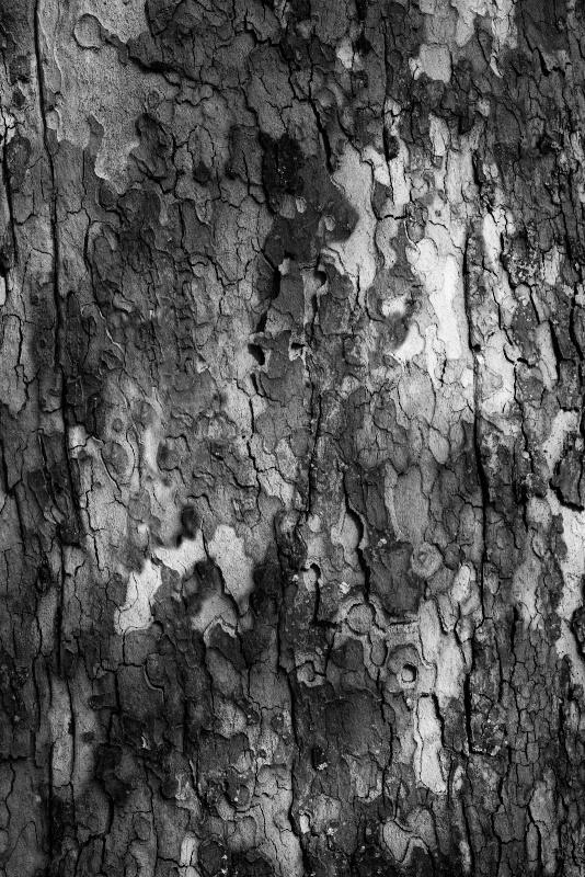 The Sycamore in Black & White