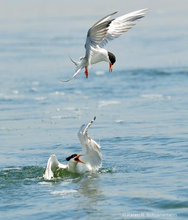 Tern Battle
