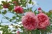 ~Old Fashion Rose...