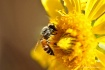 Nikonian Bee