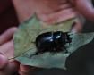 big ugly beetle