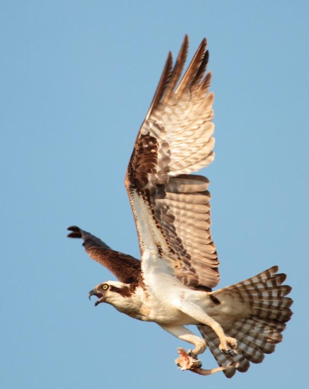 Osprey,  Lake Eufaula, Alabama  6.13.10 - ID: 10353177 © Michael S. Couch