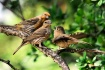 House Finch Famil...