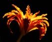 daylily at sunset