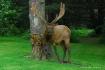 Bull Elk in Velve...