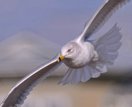 Turning Gull