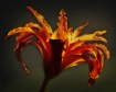 textured lily