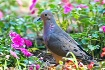 Mourning Dove in ...