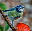 Blue Tit (Cyanist...