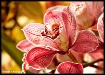 The Pink Orchid