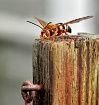 Cicada Killer Was...
