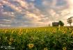 Sunflowers & Farm...