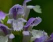 Purple Weedflower...