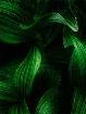 Corn Lily Pattern...