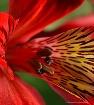 Red Alstroemera, ...