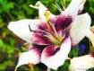 Purple & Cream Li...
