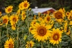The Sunflower Far...