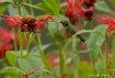 Bee Balm for Lunc...