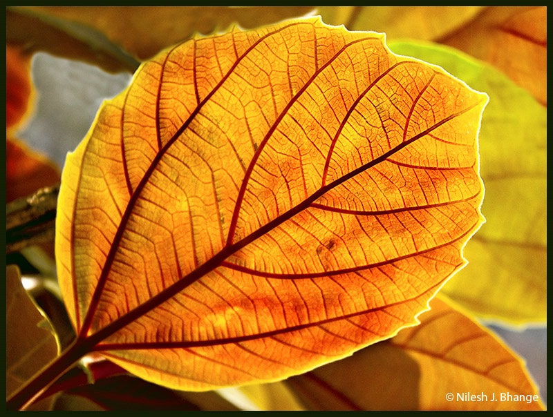 A beautiful Leaf