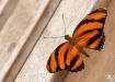 Orange Barred Tig...
