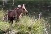 Moose Calf