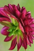 Deep Pink Dahlia