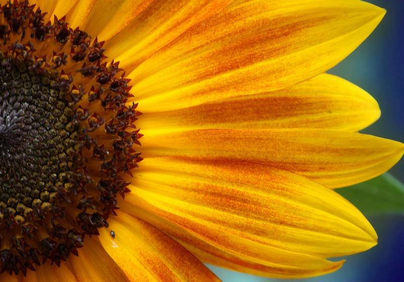 Sunflower !