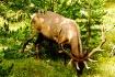 Bull elk Yellowst...