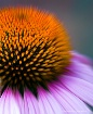 Echinacea...Up Cl...