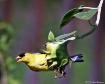 Sunflower Finch I...