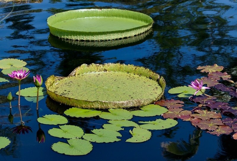 Amazon Water Lilies - ID: 10715749 © Steve Abbett