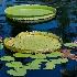 2Amazon Water Lilies - ID: 10715749 © Steve Abbett
