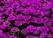 Shades of Purple ...