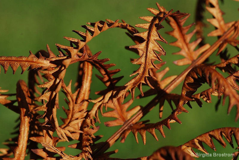 Whitred fern