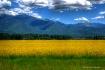 sea of yellow-