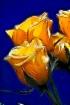 Ryans Roses