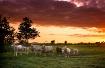 Sheep at Sunrise