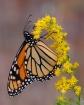 Modern Monarch